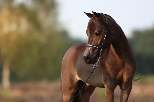 AMHA stallion, SSF Velvetbucks Levi