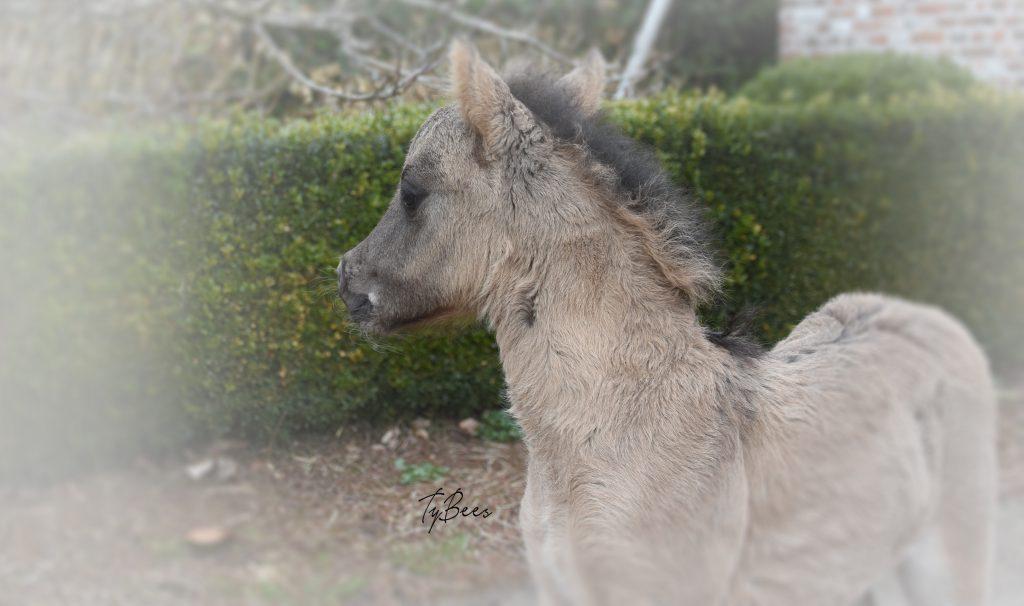 AMHA colt, TyBees Levi Velvets Dempsey
