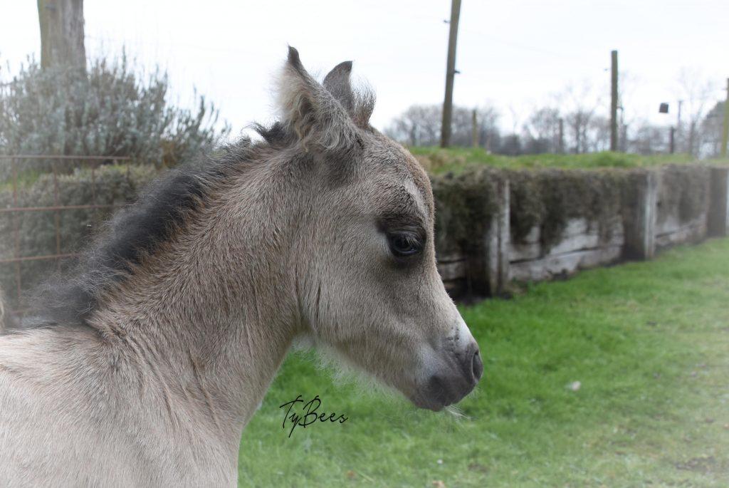 AMHA colt, TyBees Levi Velvets B Dazzled
