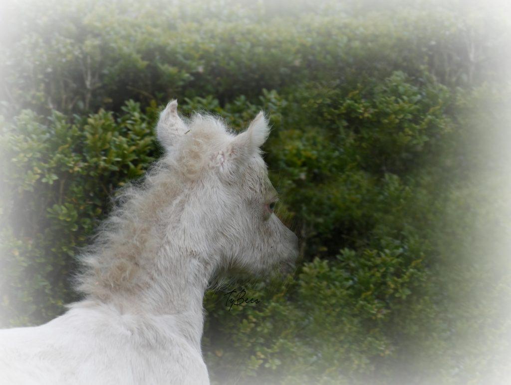 AMHA mare TyBees Suchabuck a New Daysie